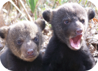 Baby Black Bear Cubs