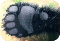 Black Bear Paw