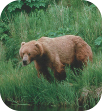 Brown Bear Picture