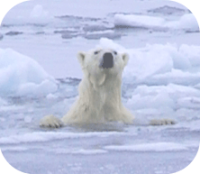 Polar Bear in Ice
